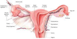 the-uterus
